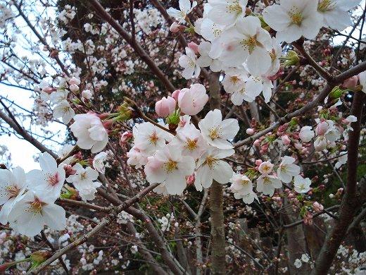 桜の見ごろは来週?.jpg